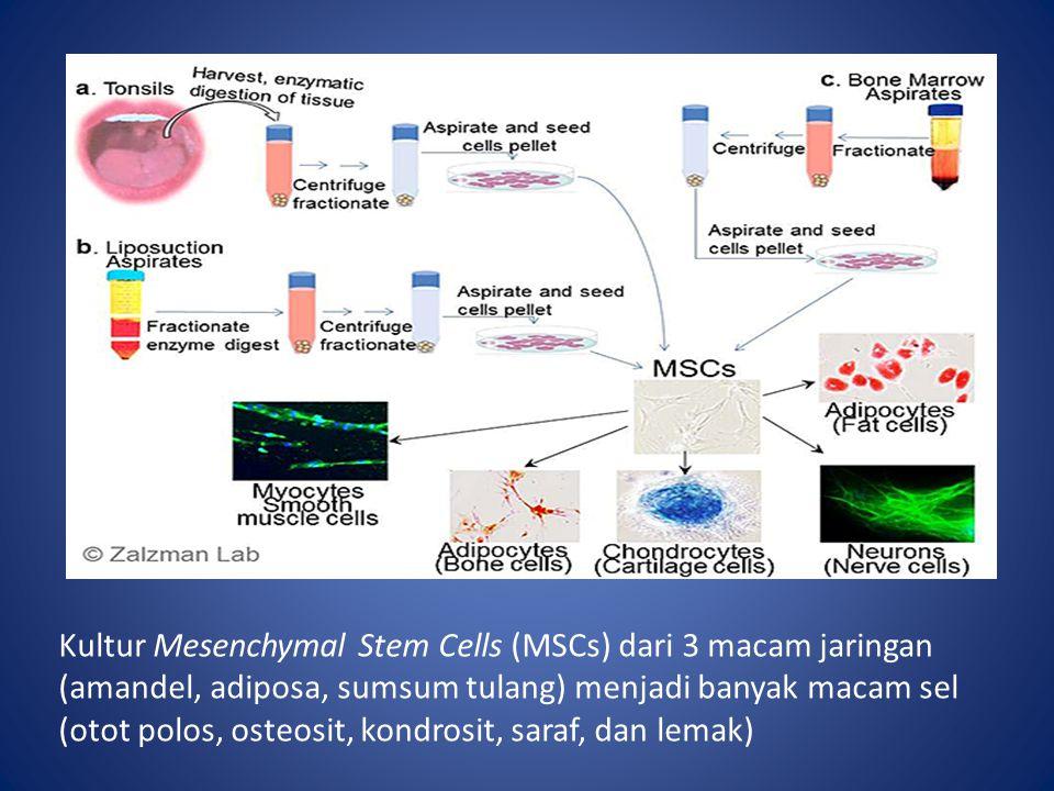 Kultur Mesenchymal Stem Cells (MSCs) dari 3 macam jaringan (amandel, adiposa, sumsum tulang) menjadi banyak macam sel (otot polos, osteosit, kondrosit