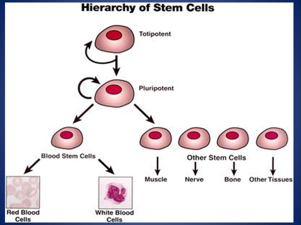 Kultur Mesenchymal Stem Cells (MSCs) dari 3 macam jaringan (amandel, adiposa, sumsum tulang) menjadi banyak macam sel (otot polos, osteosit, kondrosit, saraf, dan lemak)