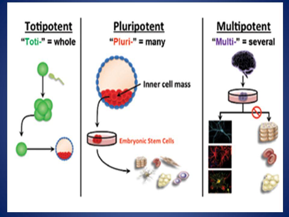 Kultur jaringan epitel usus embrio ayam