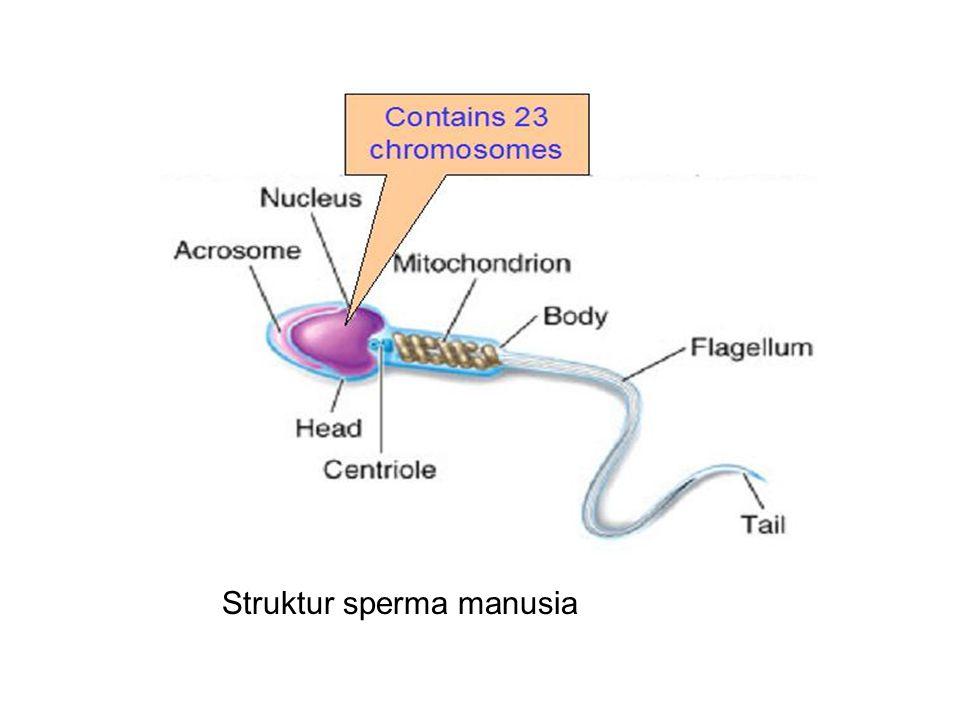 Struktur sperma manusia