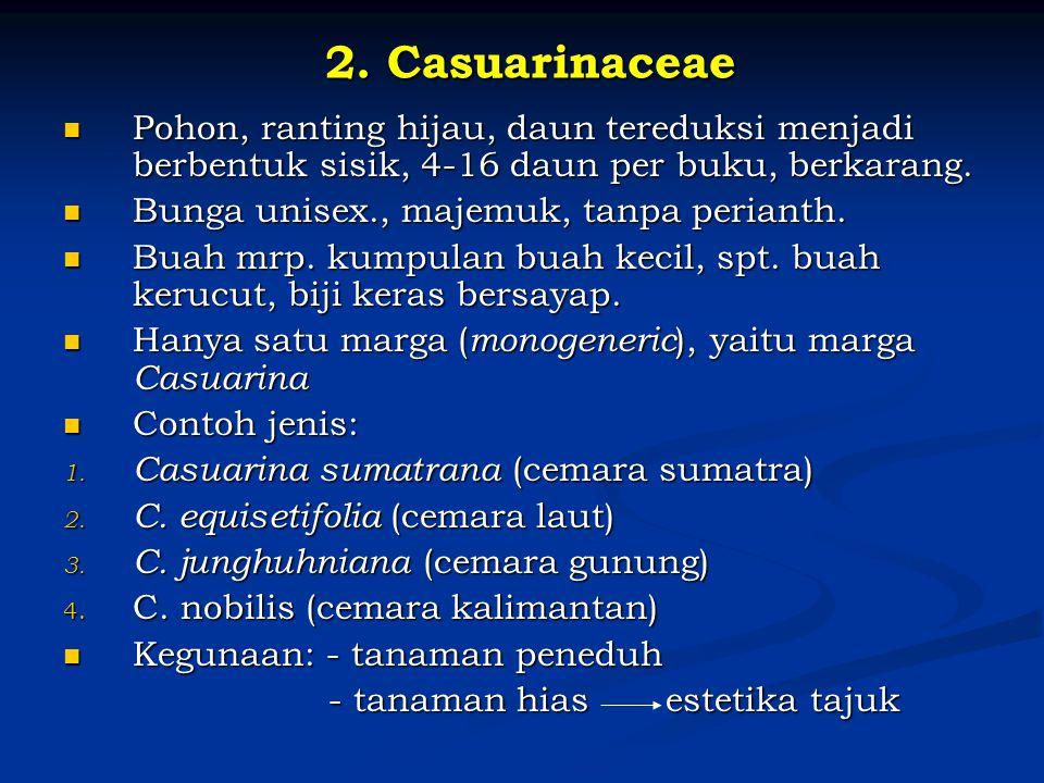 2. Casuarinaceae Pohon, ranting hijau, daun tereduksi menjadi berbentuk sisik, 4-16 daun per buku, berkarang. Pohon, ranting hijau, daun tereduksi men