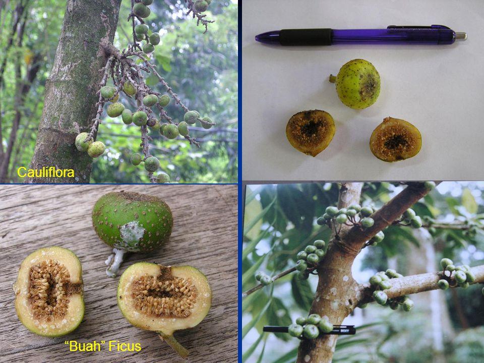 """Cauliflora """"Buah"""" Ficus"""