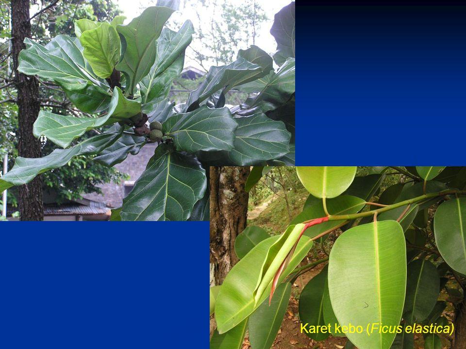 Karet kebo (Ficus elastica)