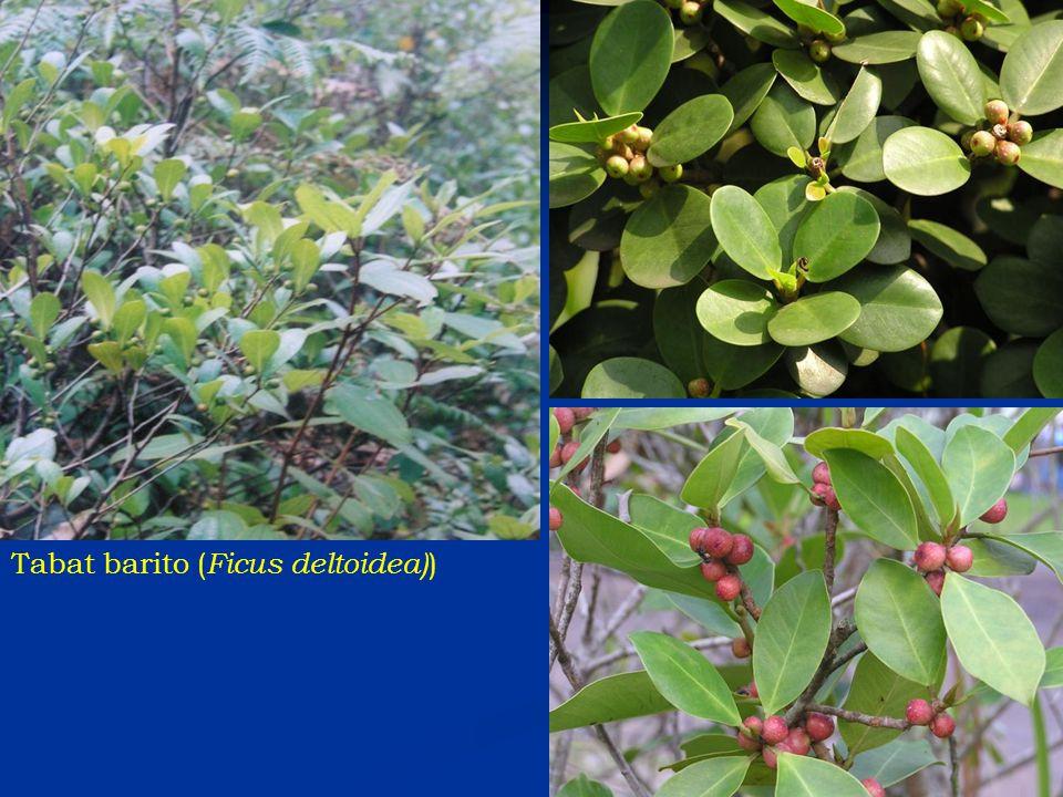Tabat barito ( Ficus deltoidea) )