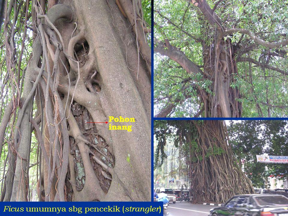Ficus umumnya sbg pencekik ( strangler ) Pohon inang