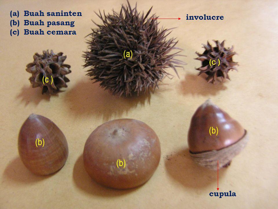 (a) (b) (a)Buah saninten (b)Buah pasang (c)Buah cemara (c ) involucre cupula (c )