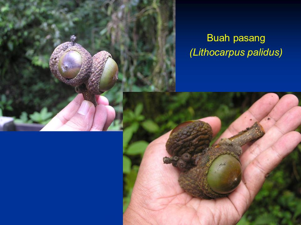 Buah pasang (Lithocarpus palidus)