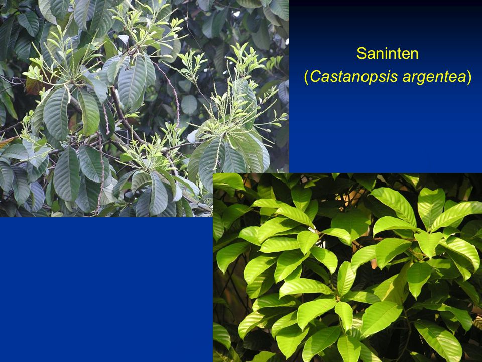 Saninten (Castanopsis argentea)