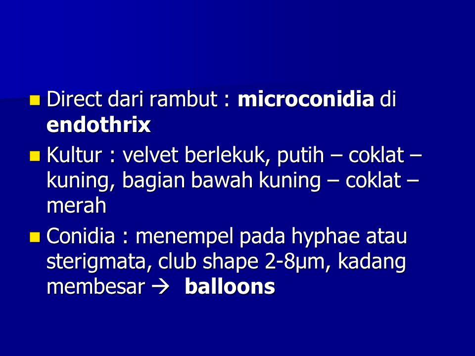 Direct dari rambut : microconidia di endothrix Direct dari rambut : microconidia di endothrix Kultur : velvet berlekuk, putih – coklat – kuning, bagia