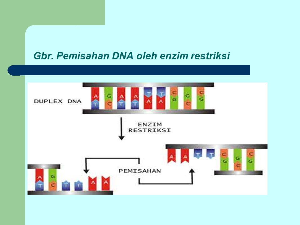 Gbr. Pemisahan DNA oleh enzim restriksi