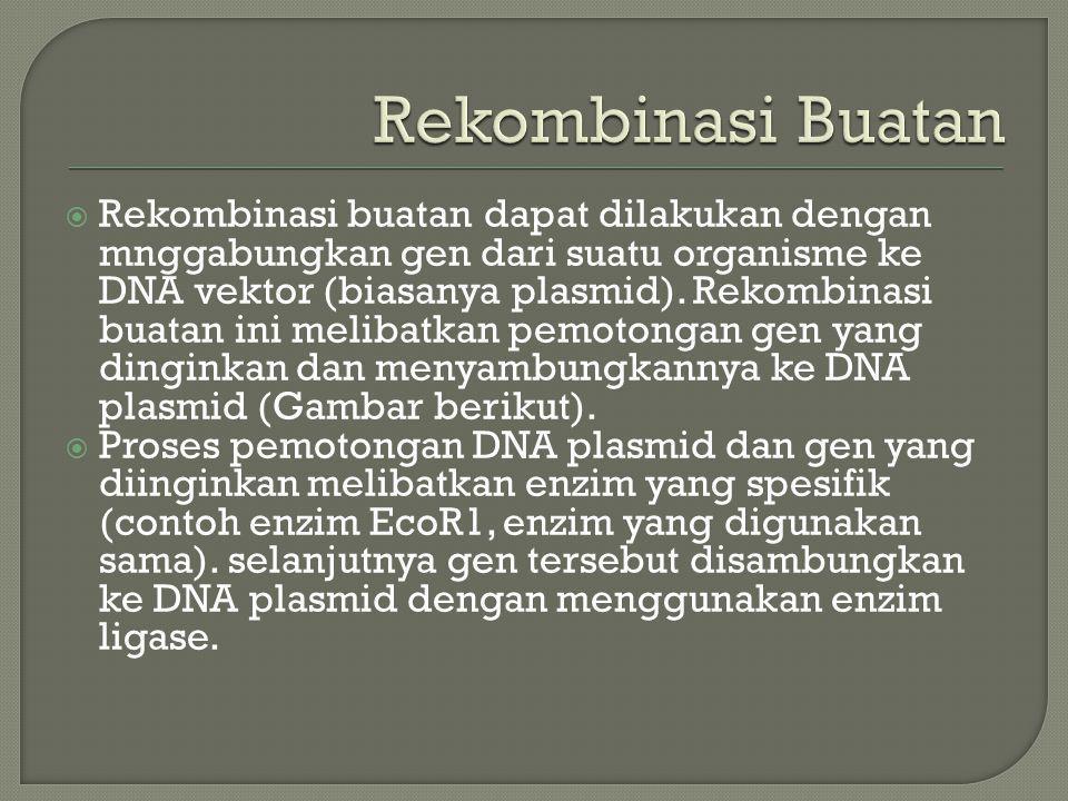  Rekombinasi buatan dapat dilakukan dengan mnggabungkan gen dari suatu organisme ke DNA vektor (biasanya plasmid). Rekombinasi buatan ini melibatkan