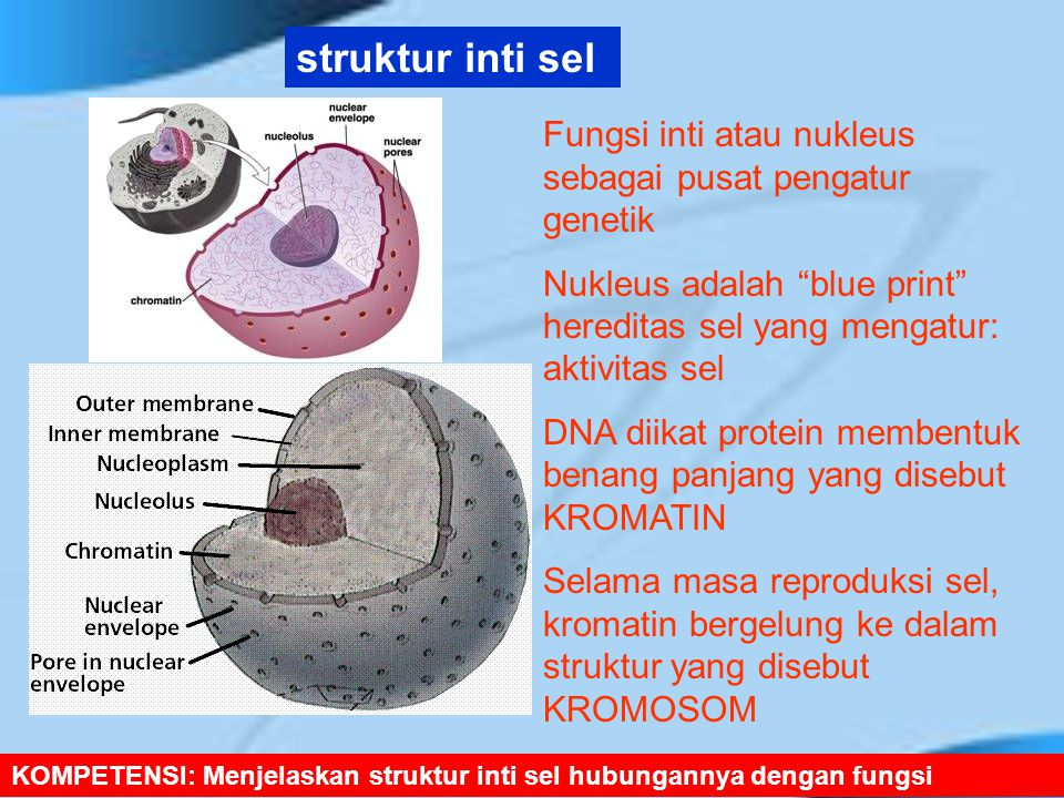 KOMPETENSI: Menjelaskan struktur inti sel hubungannya dengan fungsi struktur inti sel Fungsi inti atau nukleus sebagai pusat pengatur genetik Nukleus adalah blue print hereditas sel yang mengatur: aktivitas sel DNA diikat protein membentuk benang panjang yang disebut KROMATIN Selama masa reproduksi sel, kromatin bergelung ke dalam struktur yang disebut KROMOSOM