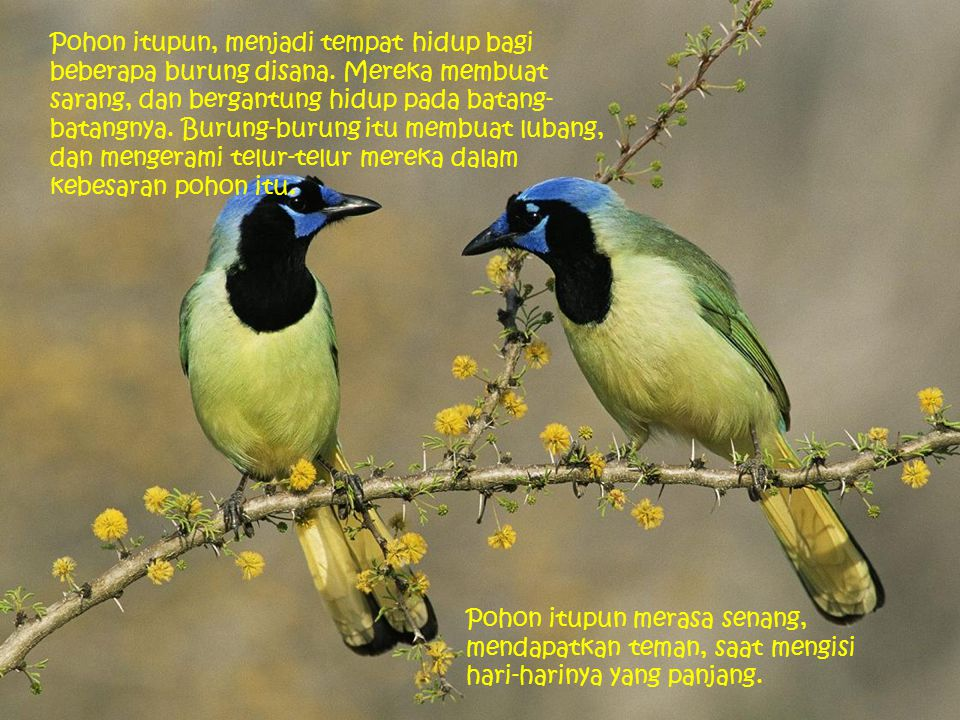 Pohon itupun, menjadi tempat hidup bagi beberapa burung disana. Mereka membuat sarang, dan bergantung hidup pada batang- batangnya. Burung-burung itu