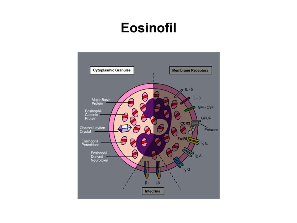 Eosinofil