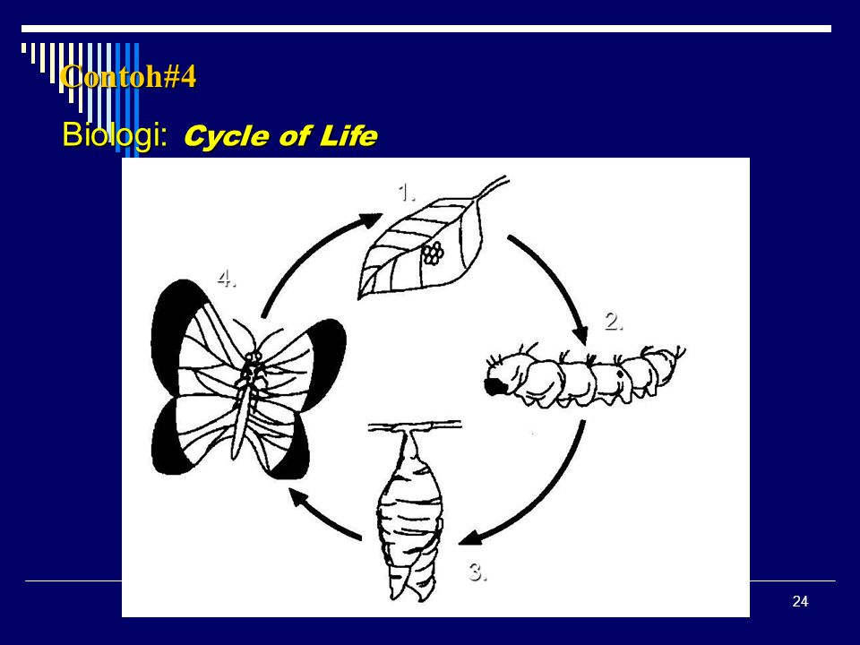 24 Biologi: Cycle of Life Contoh#4 1. 2. 3. 4.
