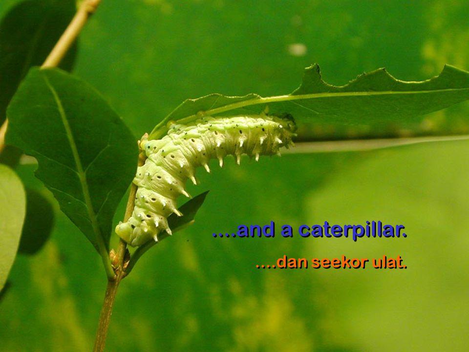 ....and a caterpillar.....dan seekor ulat.....and a caterpillar.....dan seekor ulat.