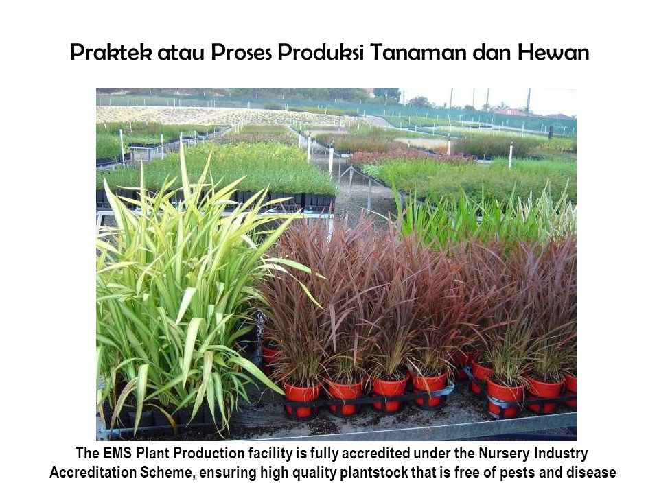 PraktekatauProsesProduksiTanamandanHewan The EMS Plant Production facility is fully accredited under the Nursery Industry Accreditation Scheme, ensuring high quality plantstock that is free of pests and disease