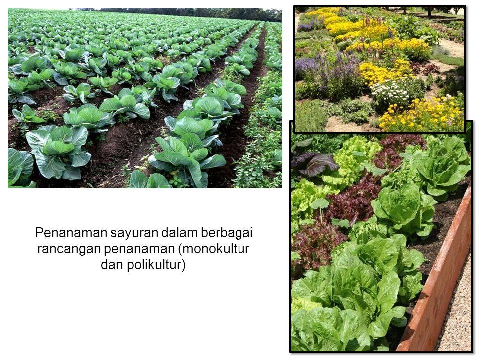 Penanaman sayuran dalam berbagai rancangan penanaman (monokultur dan polikultur)