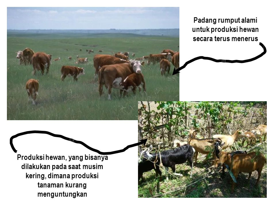 Padang rumput alami untuk produksi hewan secara terus menerus Produksi hewan, yang bisanya dilakukan pada saat musim kering, dimana produksi tanaman kurang menguntungkan
