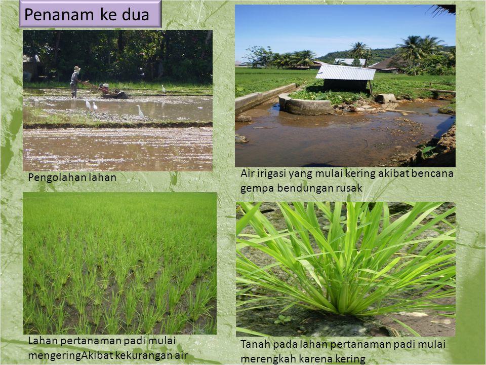 Penanam ke dua Pengolahan lahan Air irigasi yang mulai kering akibat bencana gempa bendungan rusak Lahan pertanaman padi mulai mengeringAkibat kekuran