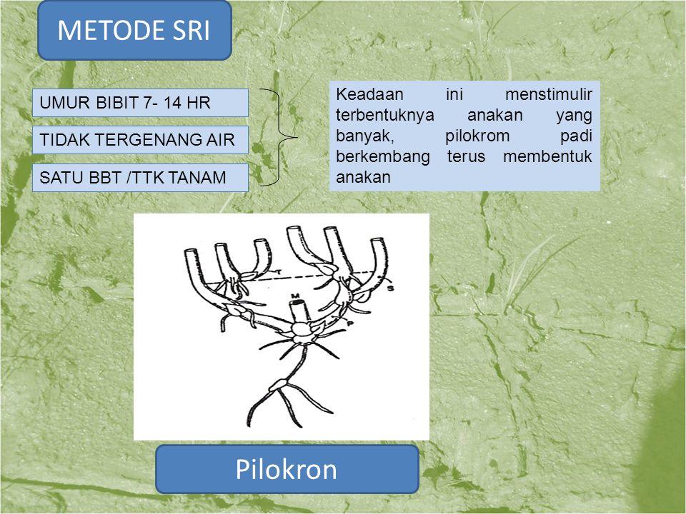 Pilokron UMUR BIBIT 7- 14 HR TIDAK TERGENANG AIR SATU BBT /TTK TANAM Keadaan ini menstimulir terbentuknya anakan yang banyak, pilokrom padi berkembang