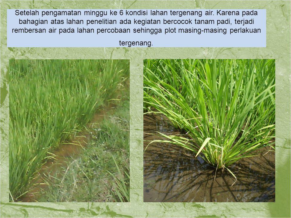 Setelah pengamatan minggu ke 6 kondisi lahan tergenang air. Karena pada bahagian atas lahan penelitian ada kegiatan bercocok tanam padi, terjadi rembe