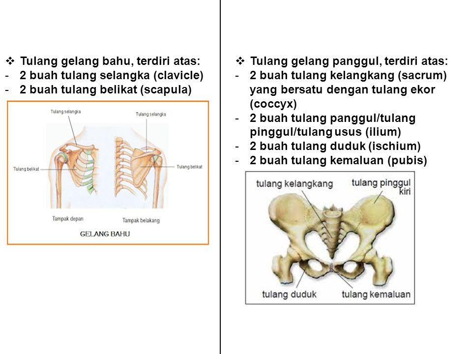  Tulang gelang bahu, terdiri atas: -2 buah tulang selangka (clavicle) -2 buah tulang belikat (scapula)  Tulang gelang panggul, terdiri atas: -2 buah tulang kelangkang (sacrum) yang bersatu dengan tulang ekor (coccyx) -2 buah tulang panggul/tulang pinggul/tulang usus (ilium) -2 buah tulang duduk (ischium) -2 buah tulang kemaluan (pubis)