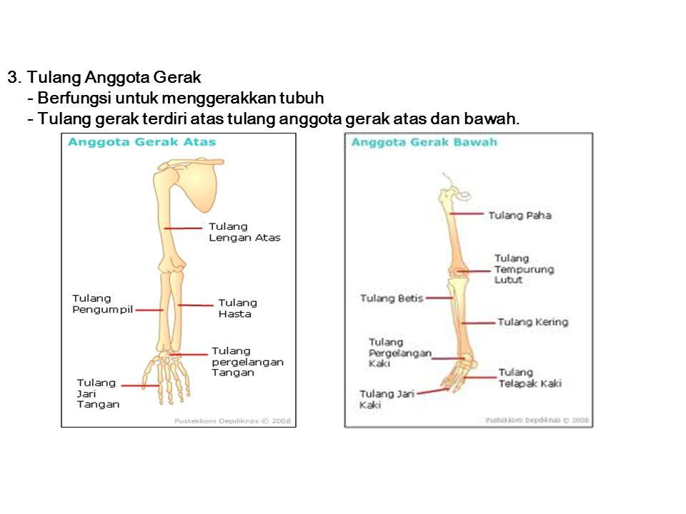 3. Tulang Anggota Gerak - Berfungsi untuk menggerakkan tubuh - Tulang gerak terdiri atas tulang anggota gerak atas dan bawah.