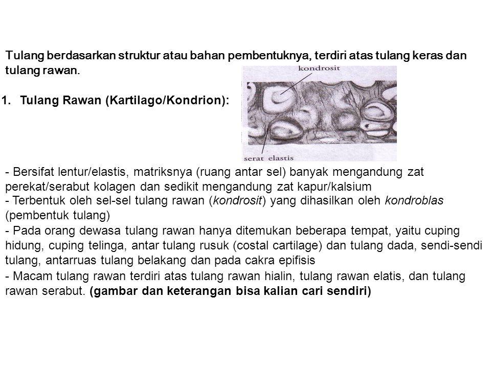 Tulang berdasarkan struktur atau bahan pembentuknya, terdiri atas tulang keras dan tulang rawan. 1.Tulang Rawan (Kartilago/Kondrion): - Bersifat lentu