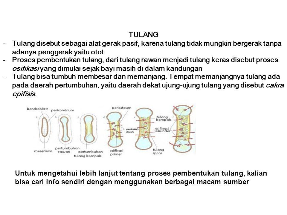TULANG -Tulang disebut sebagai alat gerak pasif, karena tulang tidak mungkin bergerak tanpa adanya penggerak yaitu otot.