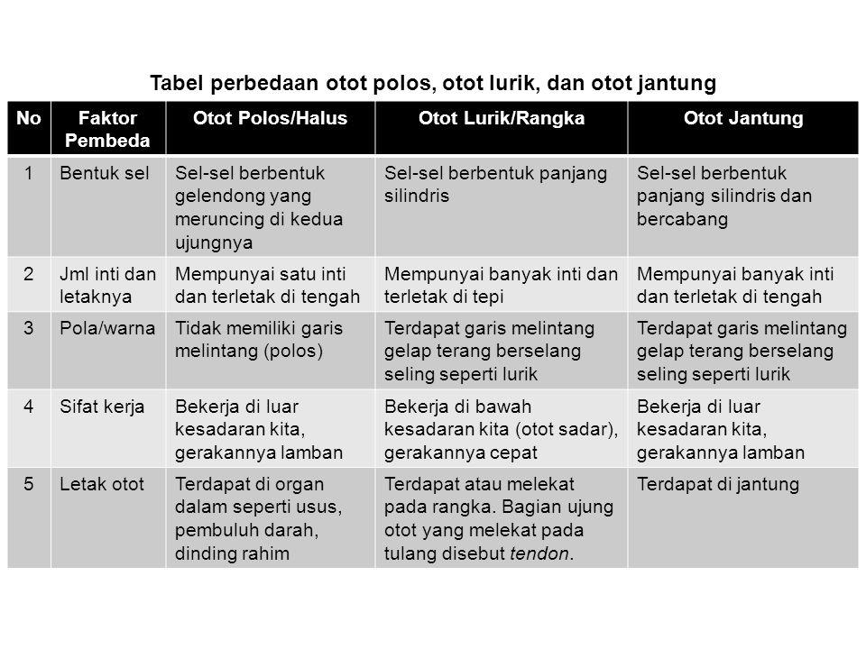 Tabel perbedaan otot polos, otot lurik, dan otot jantung NoFaktor Pembeda Otot Polos/HalusOtot Lurik/RangkaOtot Jantung 1Bentuk selSel-sel berbentuk g