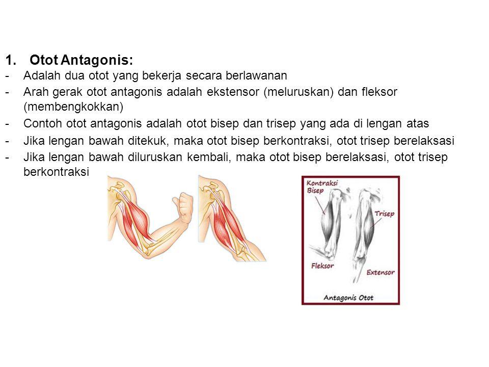 1.Otot Antagonis: -Adalah dua otot yang bekerja secara berlawanan -Arah gerak otot antagonis adalah ekstensor (meluruskan) dan fleksor (membengkokkan) -Contoh otot antagonis adalah otot bisep dan trisep yang ada di lengan atas -Jika lengan bawah ditekuk, maka otot bisep berkontraksi, otot trisep berelaksasi -Jika lengan bawah diluruskan kembali, maka otot bisep berelaksasi, otot trisep berkontraksi