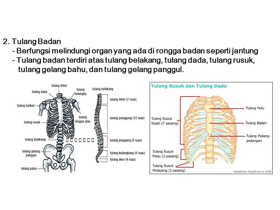2. Tulang Badan - Berfungsi melindungi organ yang ada di rongga badan seperti jantung - Tulang badan terdiri atas tulang belakang, tulang dada, tulang