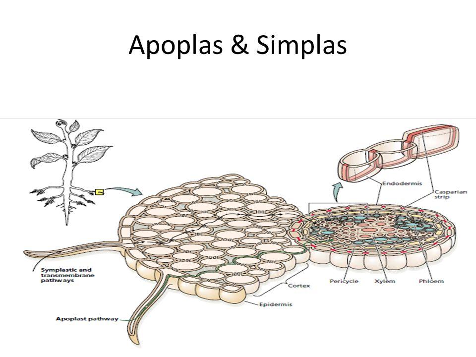 Apoplas & Simplas