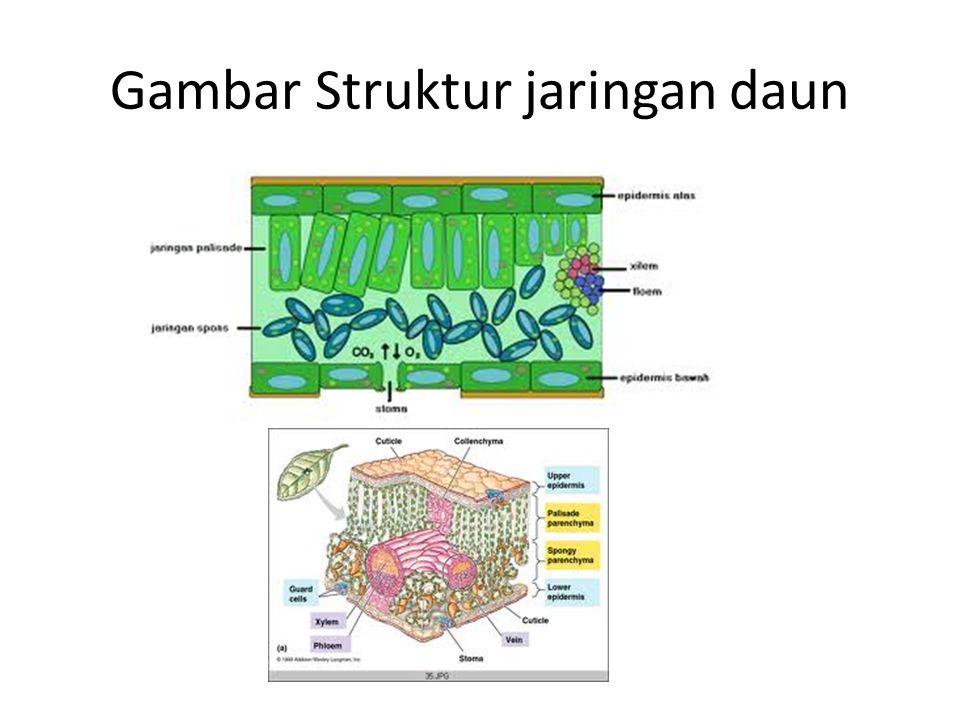 Gambar Struktur jaringan daun