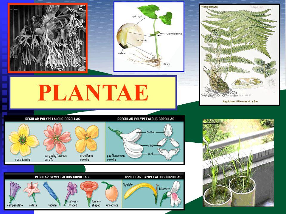 CIRI UMUM : 1.Bersel banyak 2.Berklorofil  autotrof 3.Klorofil terdapat dalam plastida 4.Bersifat eukariotik 5.Memiliki dinding sel yang tersusun dari selulosa 6.Umumnya memiliki akar, batang dan daun KLASIFIKASI PLANTAE : 1.Tumbuhan lumut (Bryophyta) 2.Tumbuhan paku (Pteridophyta) 3.Tumbuhan biji (Spermatophyta)
