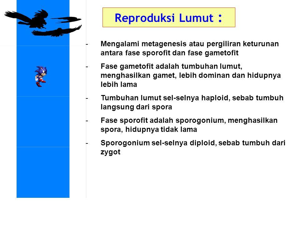 Reproduksi Lumut : -Mengalami metagenesis atau pergiliran keturunan antara fase sporofit dan fase gametofit -Fase gametofit adalah tumbuhan lumut, men