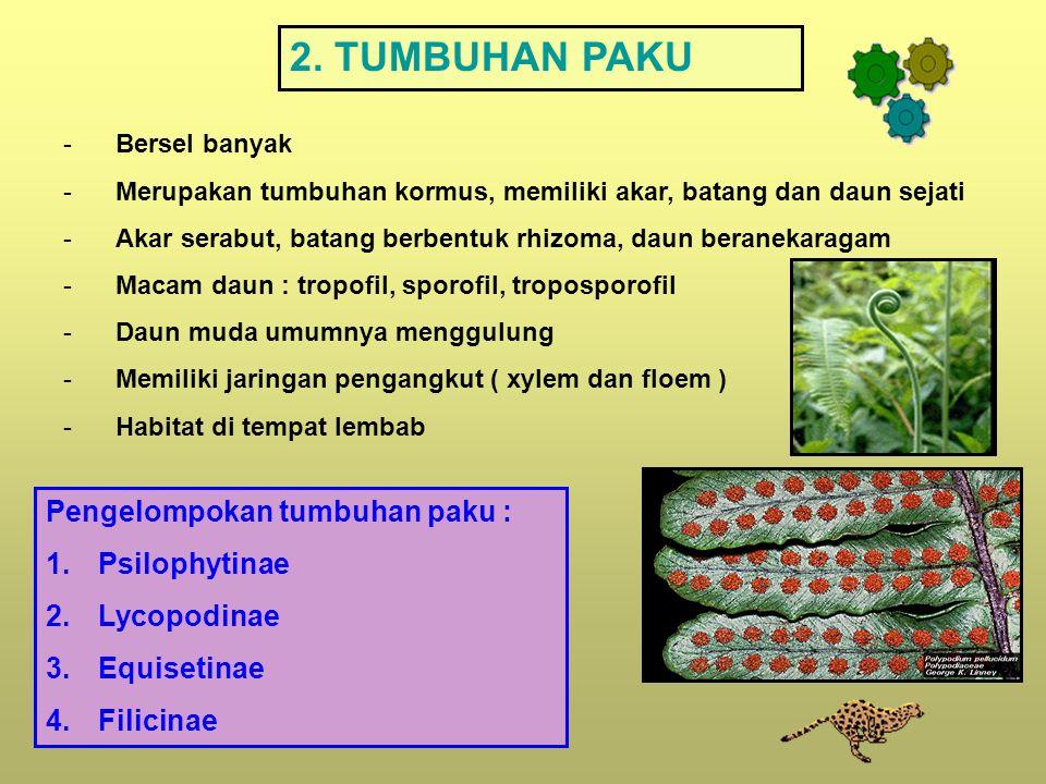 2. TUMBUHAN PAKU -Bersel banyak -Merupakan tumbuhan kormus, memiliki akar, batang dan daun sejati -Akar serabut, batang berbentuk rhizoma, daun berane