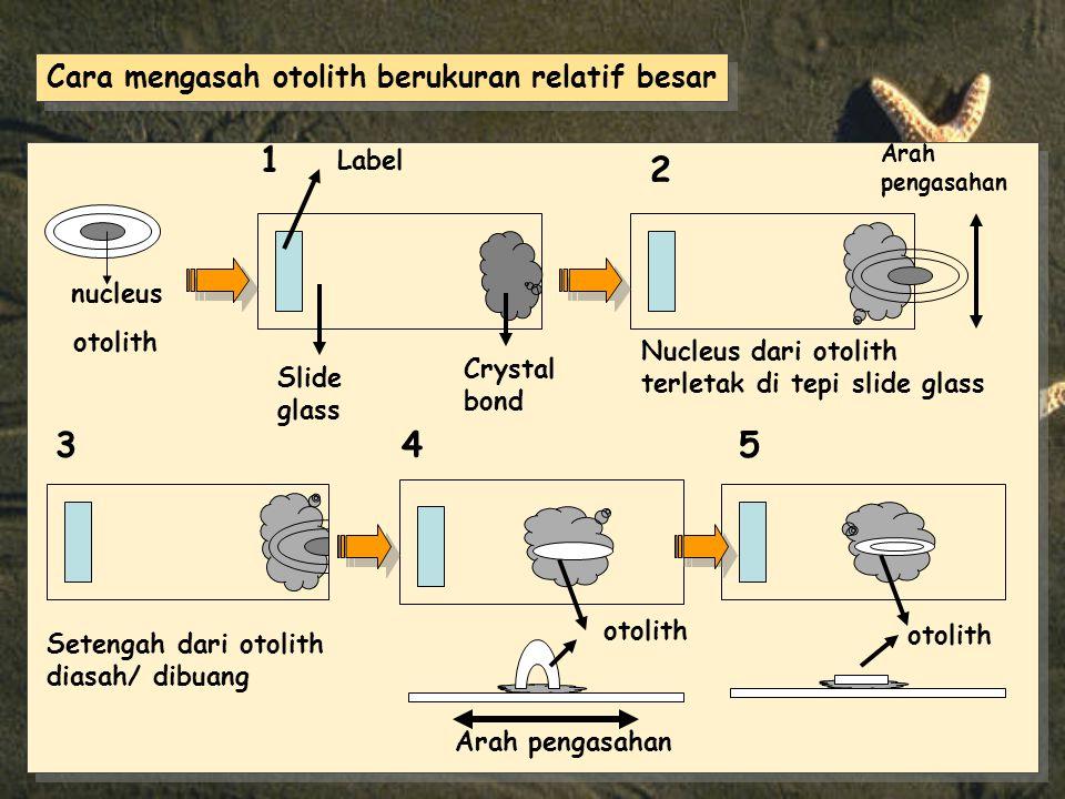 nucleus otolith Slide glass Crystal bond Label Nucleus dari otolith terletak di tepi slide glass Setengah dari otolith diasah/ dibuang otolith Arah pengasahan otolith 1 2 345 Arah pengasahan Cara mengasah otolith berukuran relatif besar
