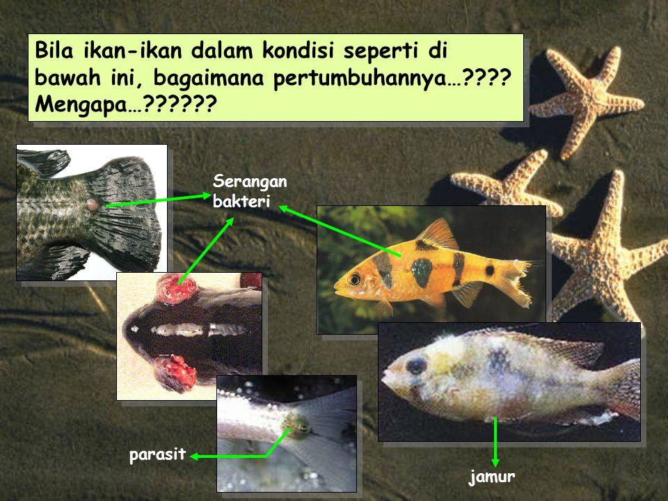 Bila ikan-ikan dalam kondisi seperti di bawah ini, bagaimana pertumbuhannya…???.