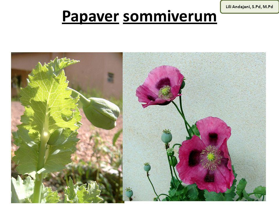 Lili Andajani, S.Pd, M.Pd OPIUM Buah opium yang dilukai dengan pisau sadap akan mengeluarkan getah kental berwarna putih.
