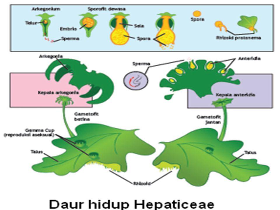 HEPATICEAE Berbentuk lembaran, bercabang –cabang. Tidak ditemukan organ batang. Reproduksi generatif : anteridium (ditopang anteridiofor) dan arkegoni