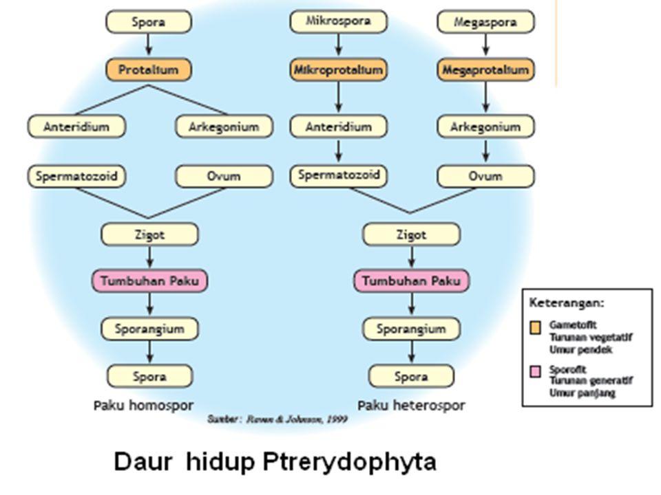 BERDASARKAN JENIS SPORA YANG DIHASILKAN : a.Paku homospor : menghasilkan satu jenis spora yang sama besarnya. Contoh : Lycopodium Paku Heterospor : me