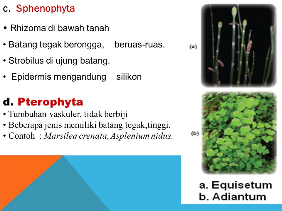 KLASIFIKASI PTERIDOPHYTA Pterydophyta dibedakan menjadi 4 sub divisi a.Psilophyta. Paku sederhana, sebagian sudah punah. Sporofit punya batang. tidak