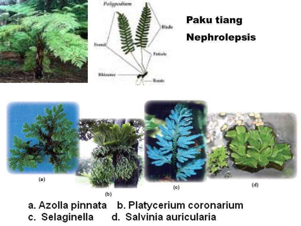 c. Sphenophyta Rhizoma di bawah tanah Batang tegak berongga, beruas-ruas. Strobilus di ujung batang. Epidermis mengandung silikon d. Pterophyta Tumbuh