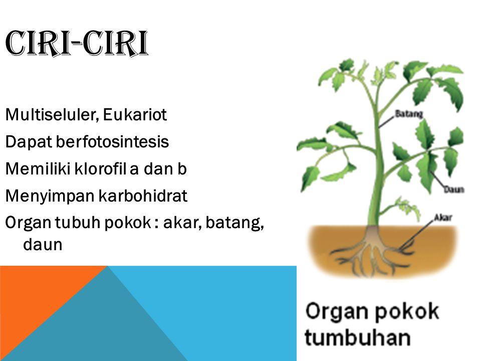 CIRI-CIRI Multiseluler, Eukariot Dapat berfotosintesis Memiliki klorofil a dan b Menyimpan karbohidrat Organ tubuh pokok : akar, batang, daun