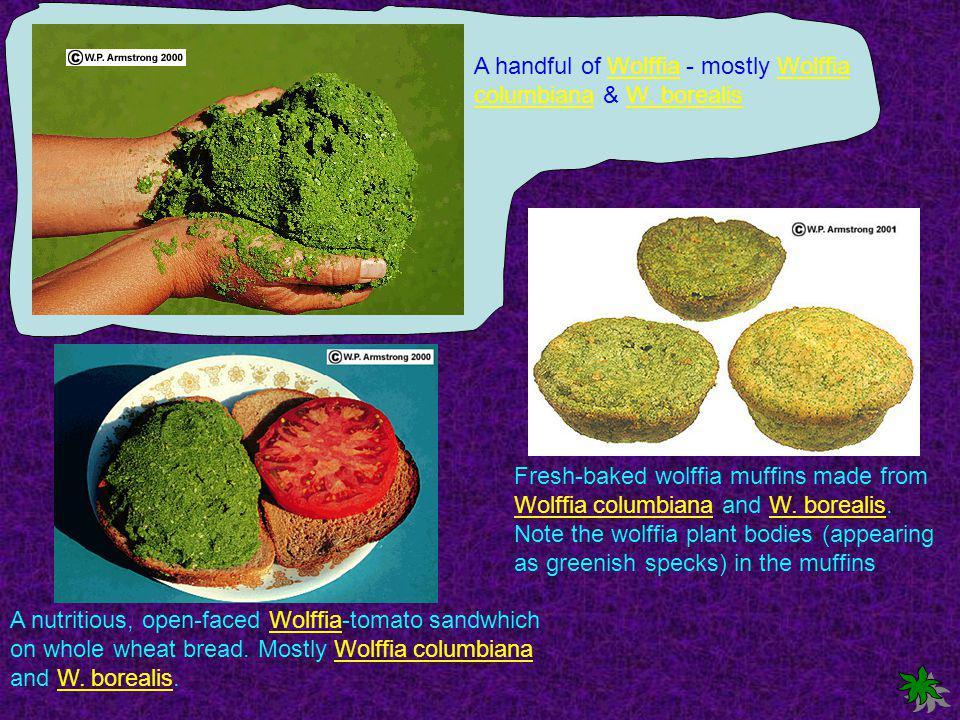 A handful of Wolffia - mostly Wolffia columbiana & W.