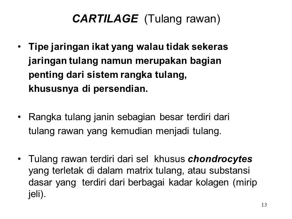13 CARTILAGE (Tulang rawan) Tipe jaringan ikat yang walau tidak sekeras jaringan tulang namun merupakan bagian penting dari sistem rangka tulang, khus