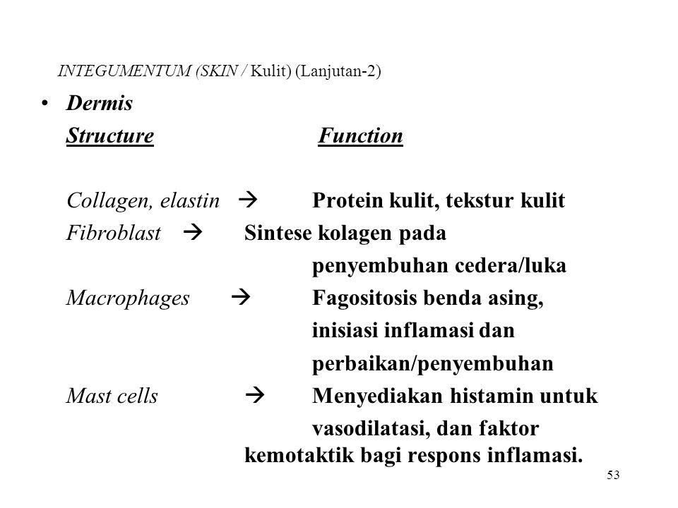 53 INTEGUMENTUM (SKIN / Kulit) (Lanjutan-2) Dermis Structure Function Collagen, elastin  Protein kulit, tekstur kulit Fibroblast  Sintese kolagen pa