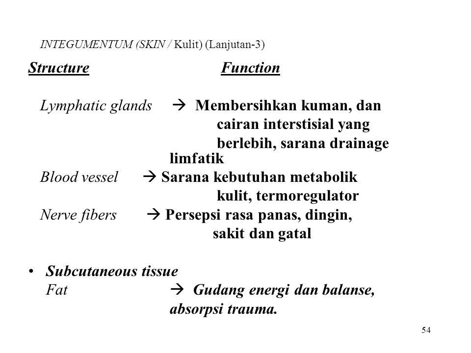 54 INTEGUMENTUM (SKIN / Kulit) (Lanjutan-3) Structure Function Lymphatic glands  Membersihkan kuman, dan cairan interstisial yang berlebih, sarana dr